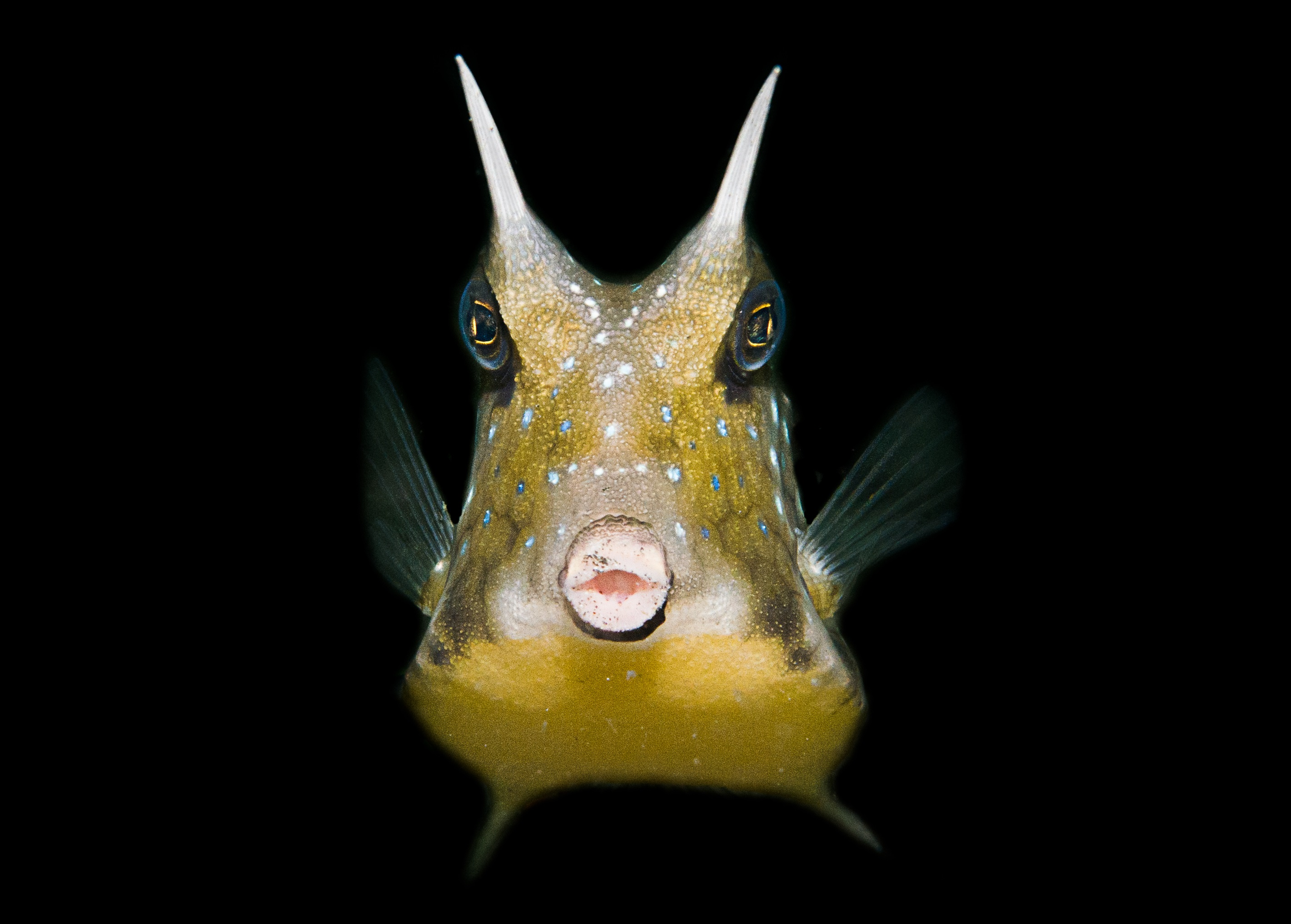 Thornback-cow-fish