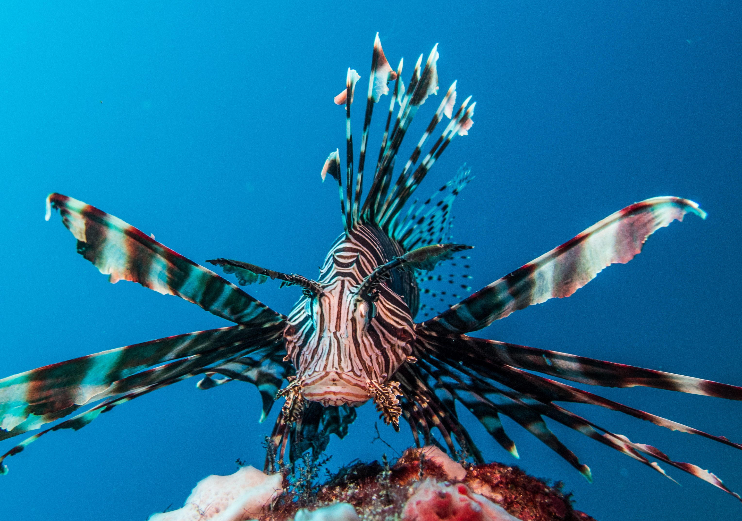 Common-lion-fish