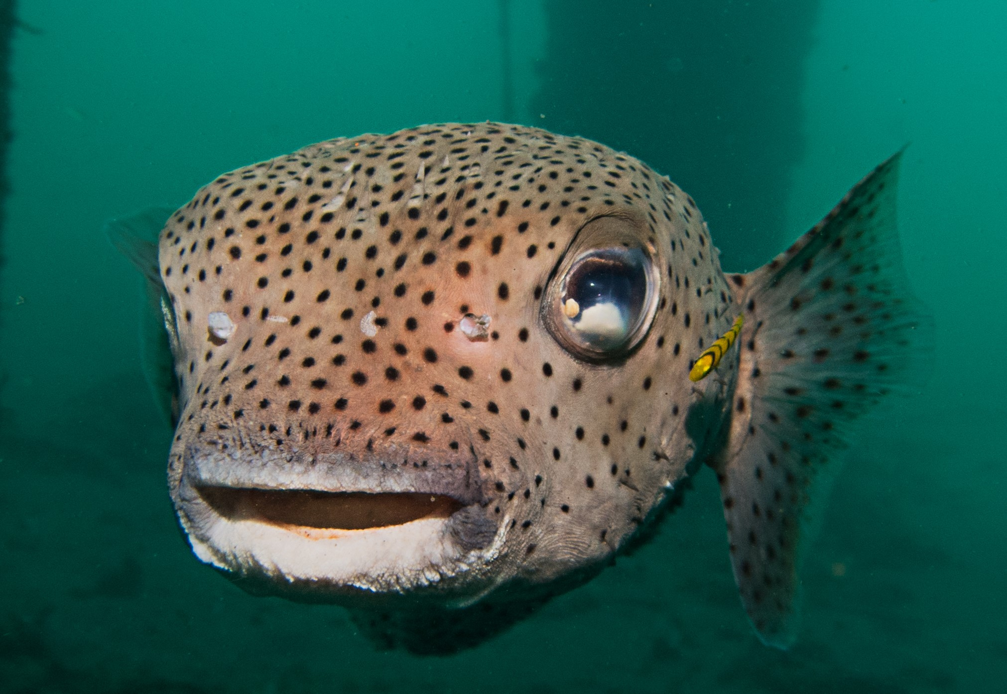 Porcupine-fish-looking-directly-at-the-camera